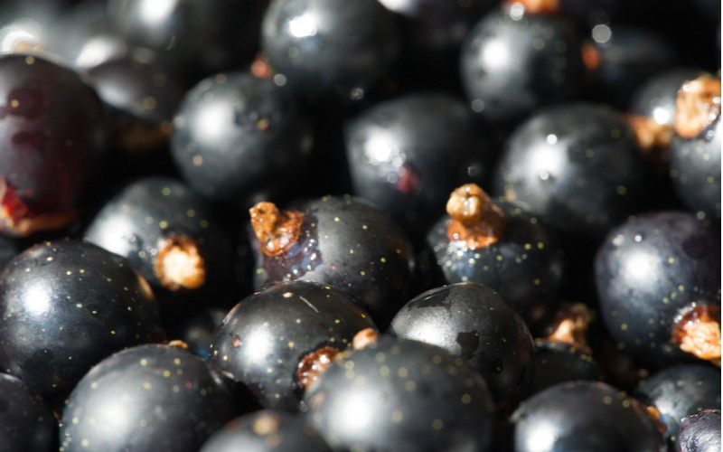 Closeup of black currants filled with polyphenols
