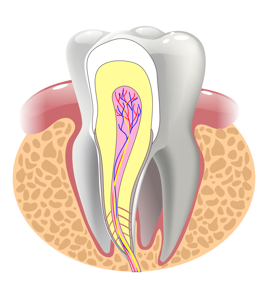 Illustration of the inside of a tooth